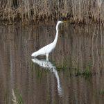 airone bianco maggiore 80 150x150 Airone bianco maggiore   Cosmerodius albus