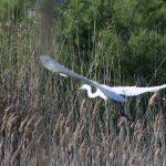 airone bianco maggiore 81 150x150 Airone bianco maggiore   Cosmerodius albus