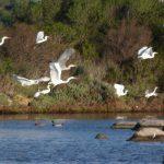 airone bianco maggiore21 150x150 Airone bianco maggiore   Cosmerodius albus