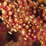 alcionario infestante 74 150x150 Parerythropodium coralloides   Alcionario parassita infestante