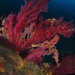 alcionario infestante 78 150x150 Parerythropodium coralloides   Alcionario parassita infestante