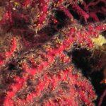 alcionario infestante 89 150x150 Parerythropodium coralloides   Alcionario parassita infestante