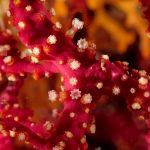 alcionario infestante 90 150x150 Parerythropodium coralloides   Alcionario parassita infestante