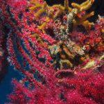 alcionario infestante 96 150x150 Parerythropodium coralloides   Alcionario parassita infestante