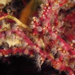 alcionario parassita 140 150x150 Parerythropodium coralloides   Alcionario parassita infestante