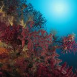 alcionario parassita 143 150x150 Parerythropodium coralloides   Alcionario parassita infestante