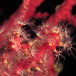 alcionario parassita 147 150x150 Parerythropodium coralloides   Alcionario parassita infestante