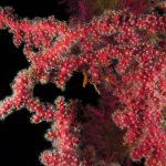 alcionario parassita incrostante 30 150x150 Parerythropodium coralloides   Alcionario parassita infestante