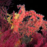 alcionario parassita incrostante 32 150x150 Parerythropodium coralloides   Alcionario parassita infestante