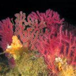 alcionario parassita incrostante 36 150x150 Parerythropodium coralloides   Alcionario parassita infestante
