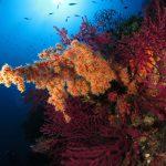 alcionario parassita infestante 40 150x150 Parerythropodium coralloides   Alcionario parassita infestante