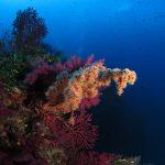 alcionario parassita infestante 41 150x150 Parerythropodium coralloides   Alcionario parassita infestante