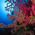 alcionario parassita infestante 42 150x150 Parerythropodium coralloides   Alcionario parassita infestante