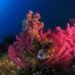 alcionario parassita infestante 44 150x150 Parerythropodium coralloides   Alcionario parassita infestante