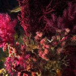 alcionario parassita infestante 46 150x150 Parerythropodium coralloides   Alcionario parassita infestante