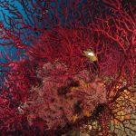 alcionario parassita infestante 54 150x150 Parerythropodium coralloides   Alcionario parassita infestante
