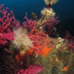 alcionario parassita infestante 55 150x150 Parerythropodium coralloides   Alcionario parassita infestante