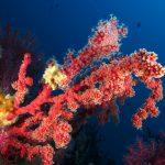 alcionario parassita infestante 70 150x150 Parerythropodium coralloides   Alcionario parassita infestante