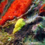 alcionario verde 11 150x150 Alcionario verde   Maasella edwuardsi