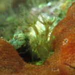 alcionario verde 73 150x150 Alcionario verde   Maasella edwuardsi