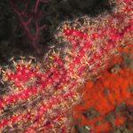 alcionum infestante 118 150x150 Parerythropodium coralloides   Alcionario parassita infestante