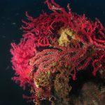 alcionum infestante 121 150x150 Parerythropodium coralloides   Alcionario parassita infestante