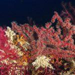 alcionum infestante 124 150x150 Parerythropodium coralloides   Alcionario parassita infestante