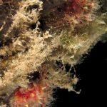 alcionum infestante 125 150x150 Parerythropodium coralloides   Alcionario parassita infestante