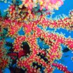alcionum parassita 15 150x150 Parerythropodium coralloides   Alcionario parassita infestante