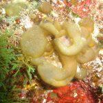 alga bolla 02 150x150 Alga bolla