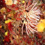 alga bucatino 01 150x150 Trichleocarpa fragilis, Alga bucatino