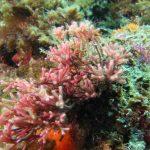 alga bucatino 05 150x150 Trichleocarpa fragilis, Alga bucatino