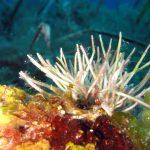 alga bucatino 13 150x150 Trichleocarpa fragilis, Alga bucatino