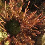 alga bucatino 46 150x150 Trichleocarpa fragilis, Alga bucatino