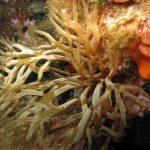 alga cava 06 150x150 Chrysymenia ventricosa, Alga cava
