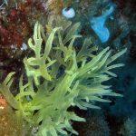 alga cava 12 150x150 Chrysymenia ventricosa, Alga cava