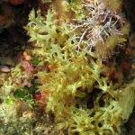 alga cava 20 150x150 Chrysymenia ventricosa, Alga cava