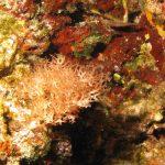 alga cava 24 150x150 Chrysymenia ventricosa, Alga cava