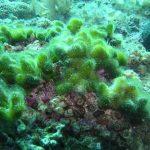 alga clava 01 150x150 Alga clava