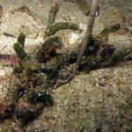 alga clava 11 150x150 Alga clava