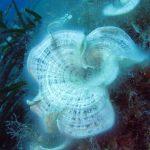 alga codadipavone 08 150x150 Alga coda di pavone