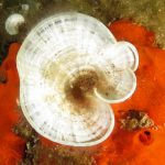 alga codadipavone 16 150x150 Alga coda di pavone