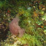 alga di dudresnay 09 150x150 Dudresnaya verticillata, Alga dudresnay