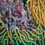 alga di minerva 02 150x150 Lithothamnion minervae, Alga di minerva