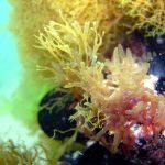 alga enteromorfa 03 150x150 Alga enteromorfa