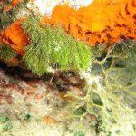 alga erba 01 150x150 Cladofora prolifera   Alga erba
