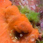 alga erba 03 150x150 Cladofora prolifera   Alga erba