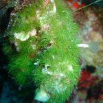 alga erba 04 150x150 Cladofora prolifera   Alga erba