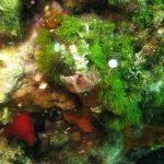 alga erba 07 150x150 Cladofora prolifera   Alga erba
