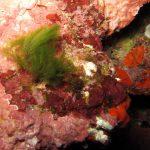 alga erba 09 150x150 Cladofora prolifera   Alga erba